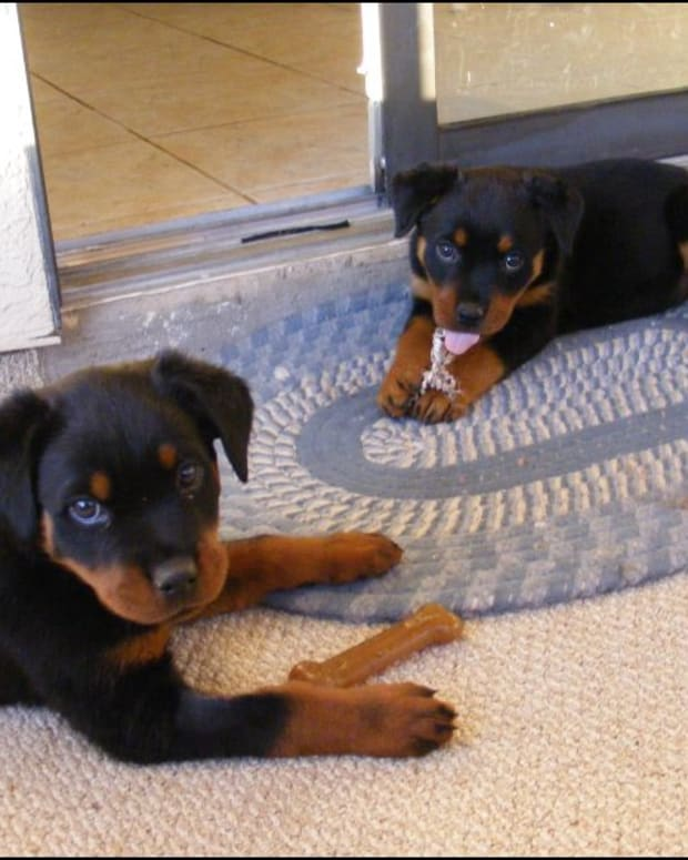 common-health-and-genetic-disorders-in-rottweilers
