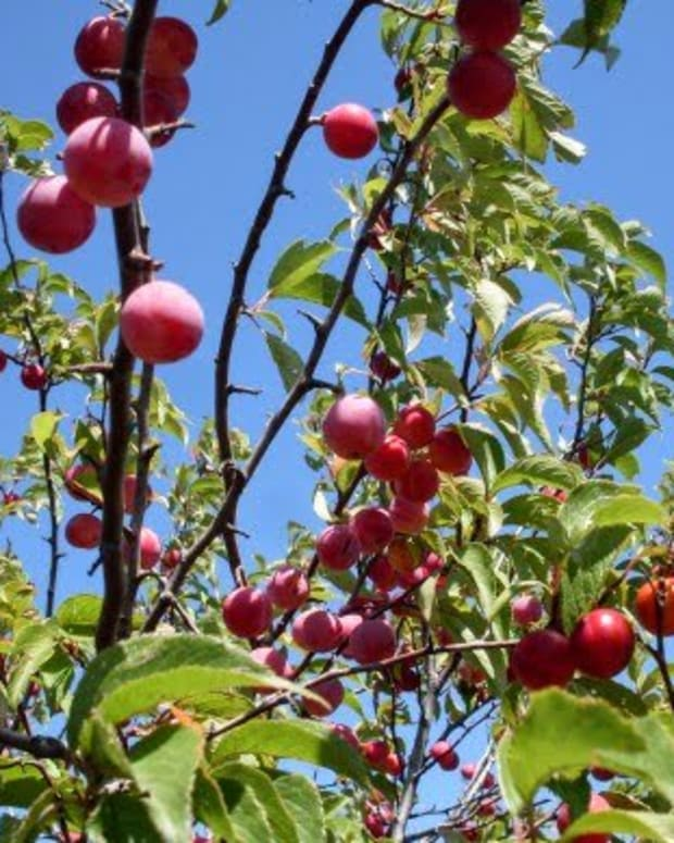 wild-plums-recipes-and-ideas