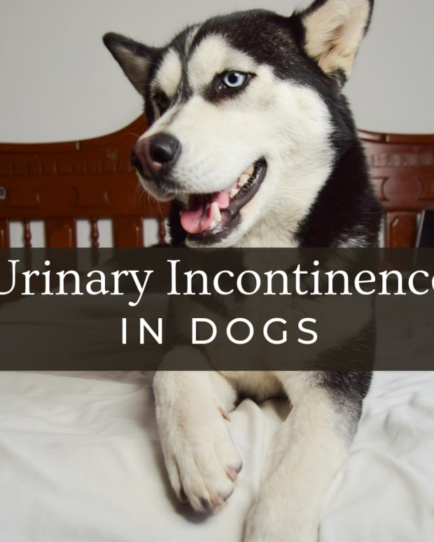 causes-of-urinary-incontinence-in-dogs