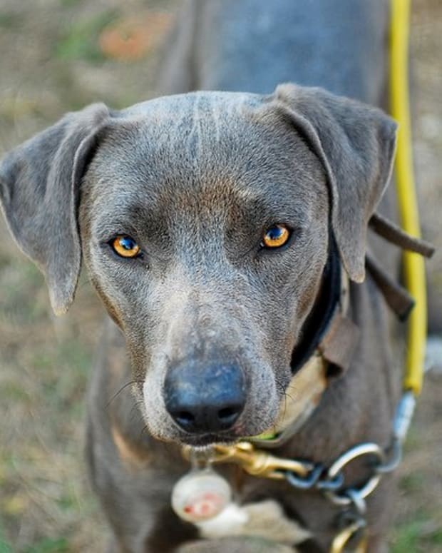 The intense stare of a Blue Lacy before turning out for a hunt. Photo by Julie Neumann, all rights reserved.