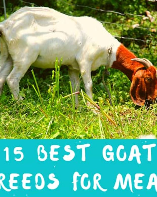 best-meat-goat-breeds
