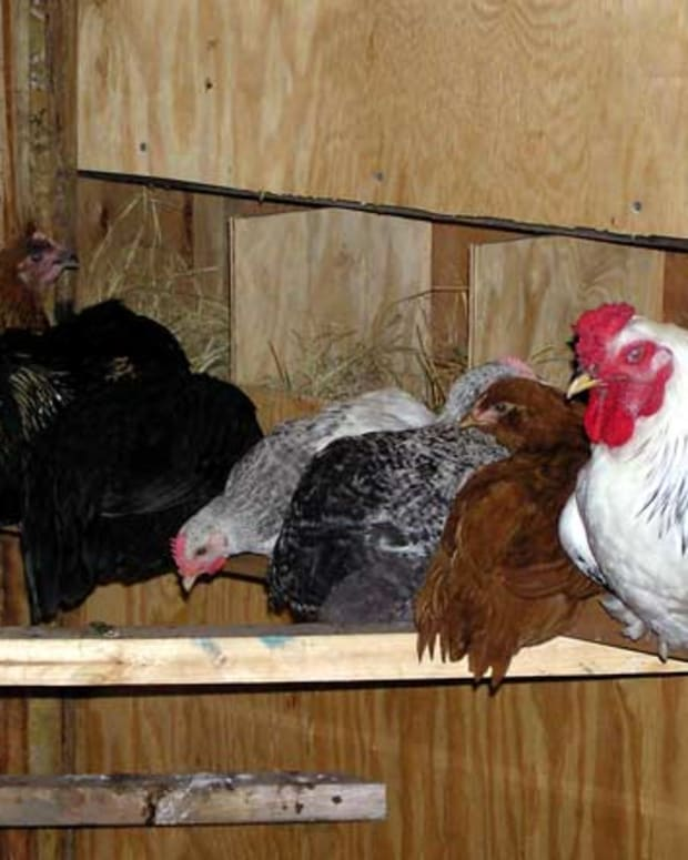 Preparing to dust with chickens on the roost