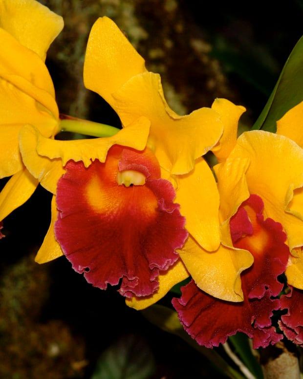Hawaiian Orchids (c) Stephanie Hicks