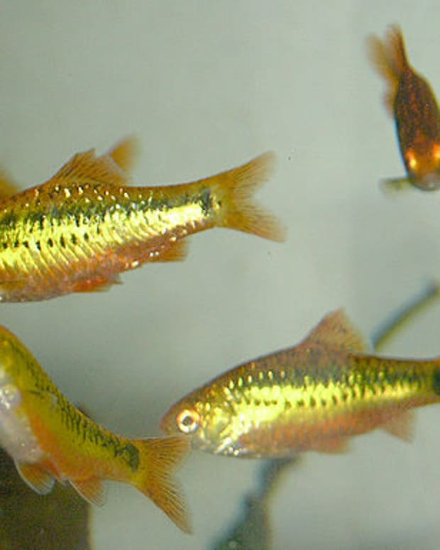 barbs-an-overview-of-gold-barbs