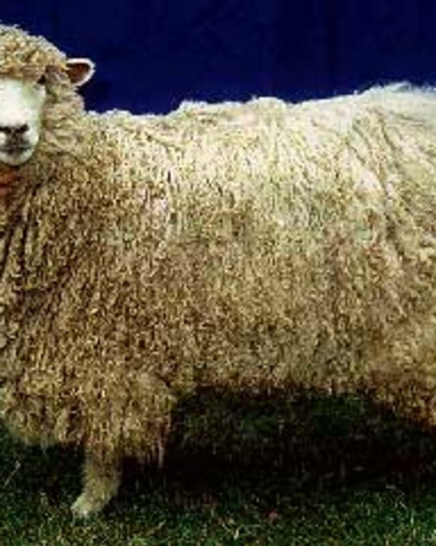 Leicester Longwool. Source: http://www.ansi.okstate.edu/breeds/sheep/leicesterlongwool/index.htm