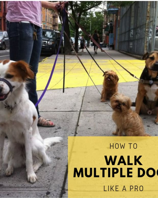how-to-walk-multiple-dogs-like-a-professional-dog-walker