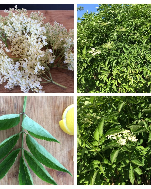 how-to-make-elderflower-cordial-a-refreshing-summer-drink