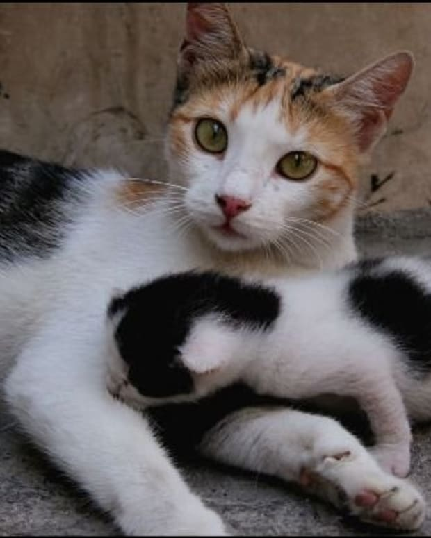how-to-help-mother-cat-deliver-kittens