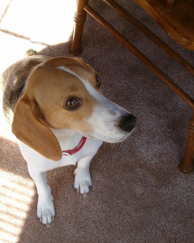 my-beagles-cousins