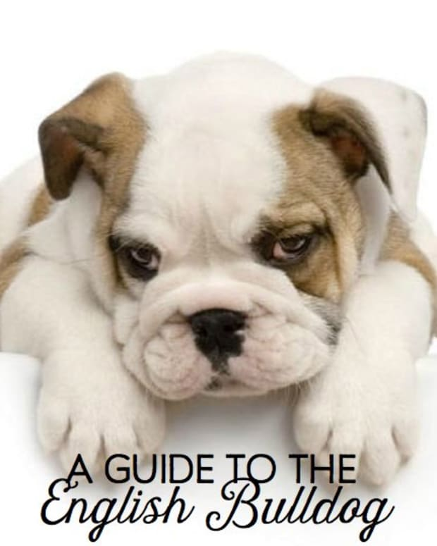 your-guide-to-english-bulldog-puppies