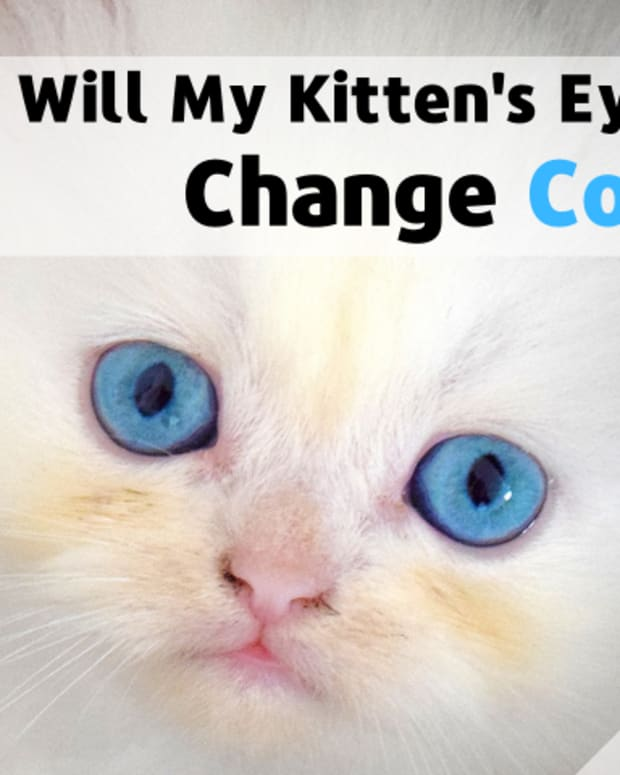 my-kitten-has-blue-eyes-will-they-stay-blue-common-kitten-questions