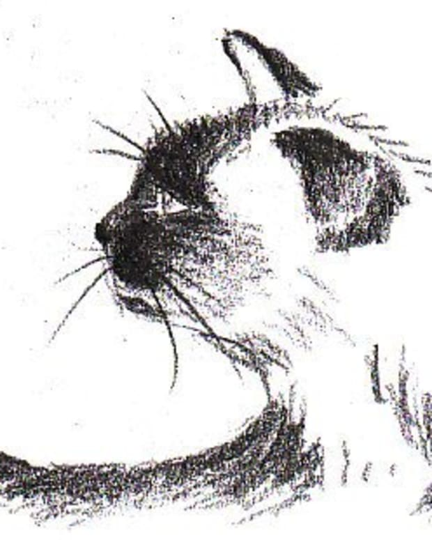 Siamese cat profile, 9B graphite pencil (super soft) on paper by Robert A. Sloan. The finished demo drawing. Model is Aristophenes MRC Sloan, the cat who owns the author.