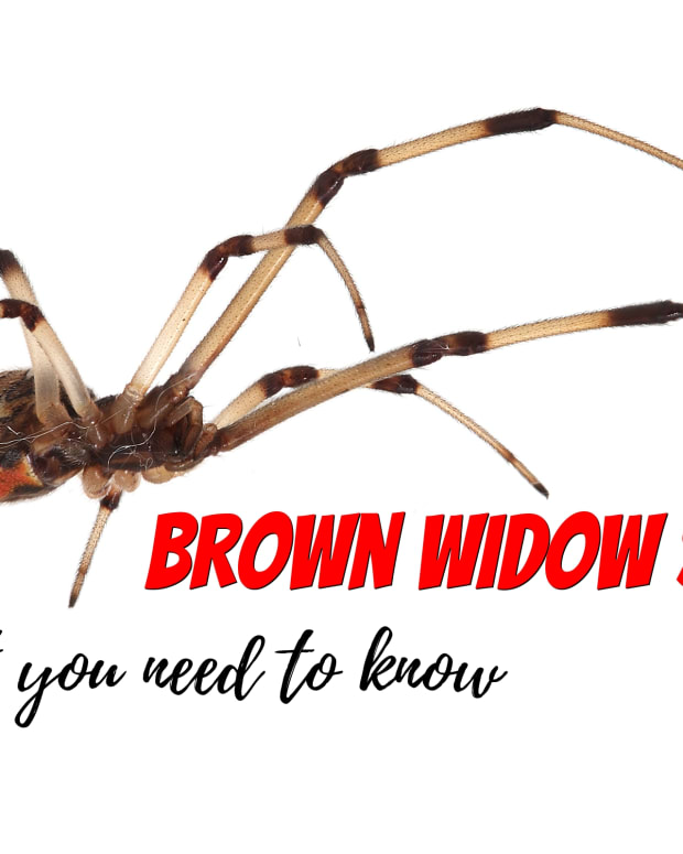 brown-widow-spider