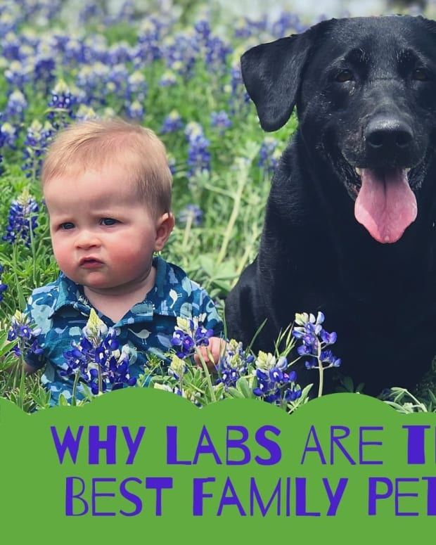 10-reasons-why-labrador-retrievers-make-great-family-pets