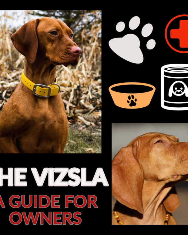 the-vizsla-a-guide-for-owners