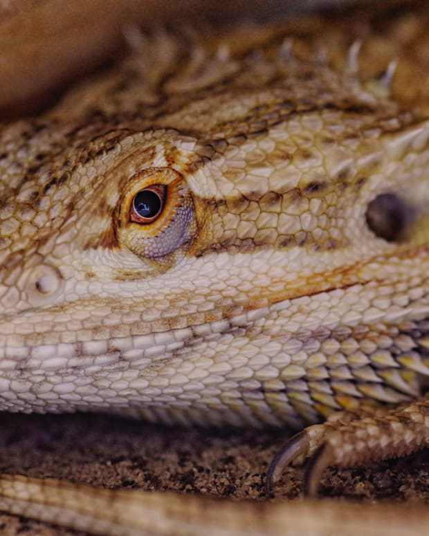 how-to-use-ceramic-heat-emitters-for-reptiles