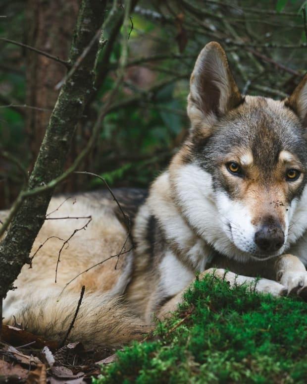 dog-wolf