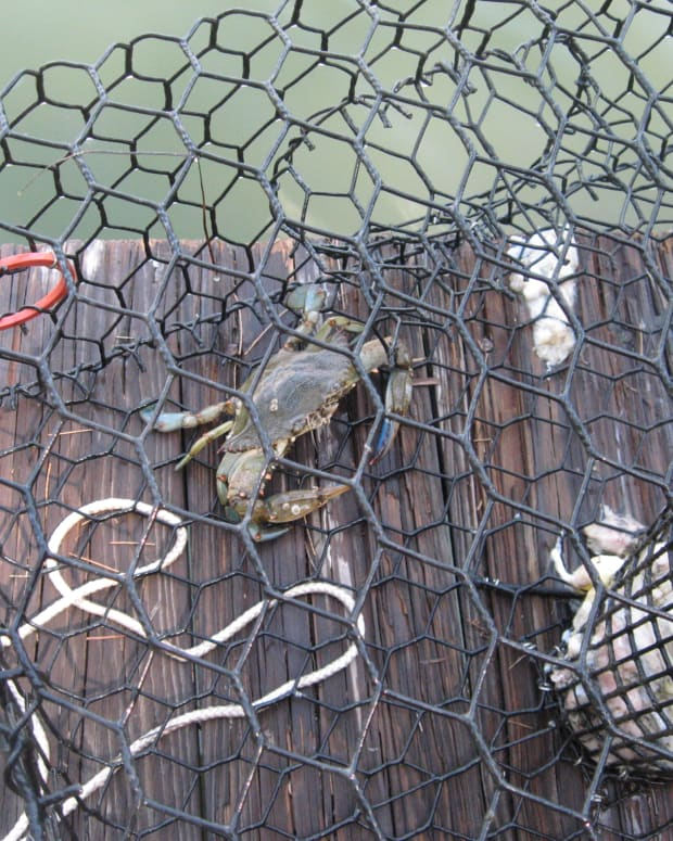 how-to-kill-clean-and-cook-blue-crabs