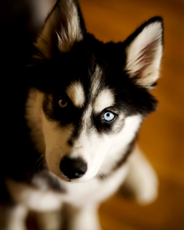 colors-of-siberian-huskies