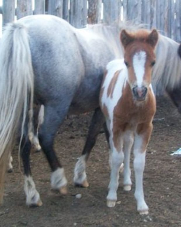 breeding-miniature-horses