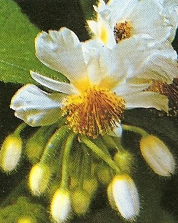 Sparmannia africana, commonly known as African hemp, room or house lime, is a vigorous grower.