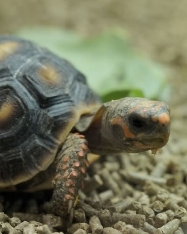 red-foot-tortoises-health