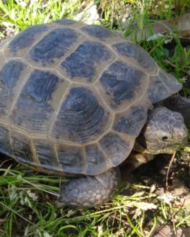 russian-tortoises-health
