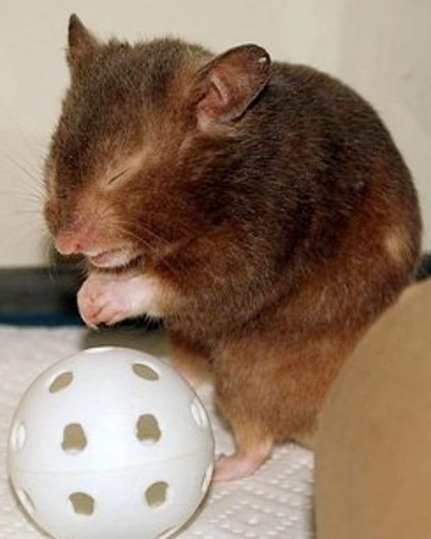upper-respiratory-illness-hamsters