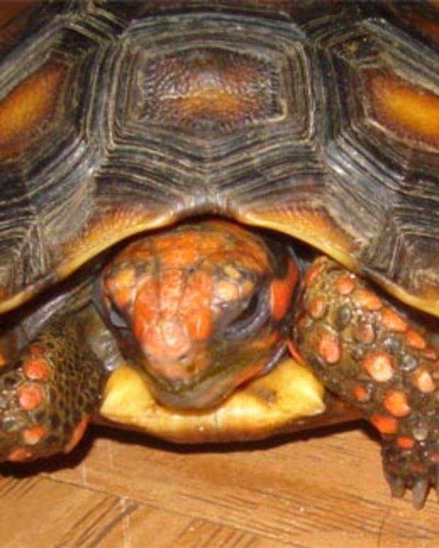 septicemia-tortoises