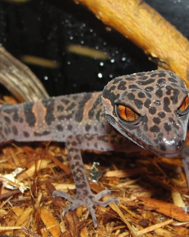 chinese-cave-geckos