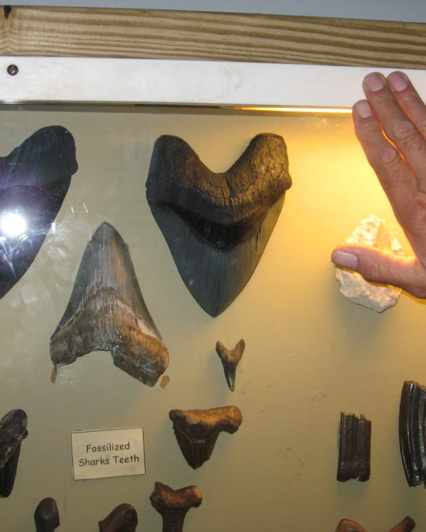 Sharks' teeth found in Florida.