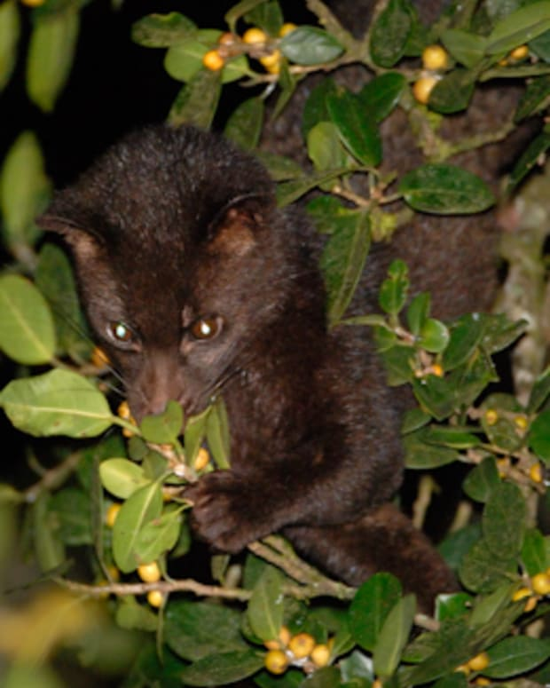 fox-dung-coffee-for-sale-the-civet-cat