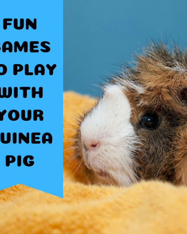 three-games-to-play-with-your-guinea-pigs