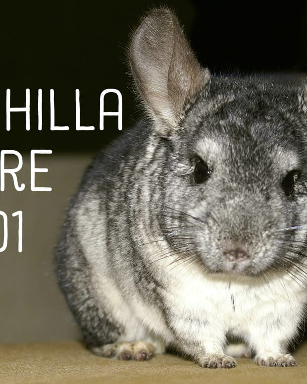 chinchilla-care-what-you-need-to-know-before-purchasing-your-new-friend