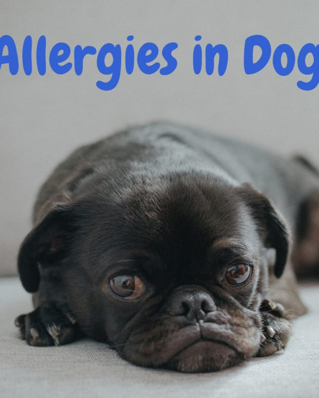skin-allergies-in-dogs