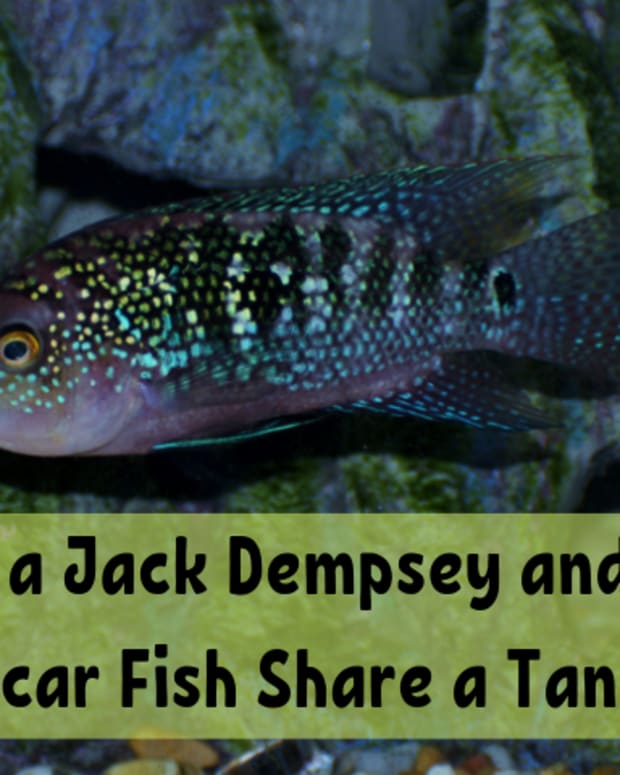 can-a-jack-dempsey-and-an-oscar-fish-live-together