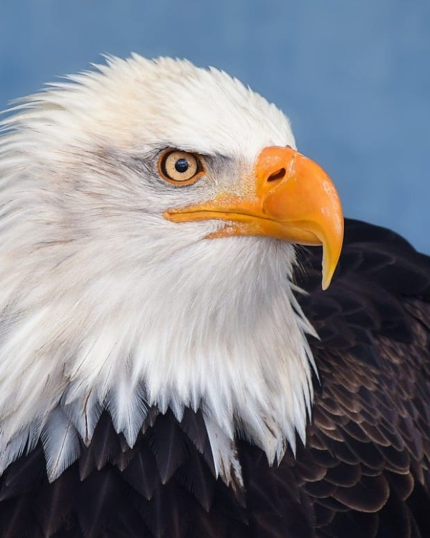 bald-eagles-facts-you-didnt-know