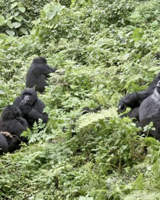 A Family of Mountain Gorillas in Rwanda.