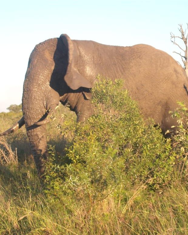 Lone Elephant Bull