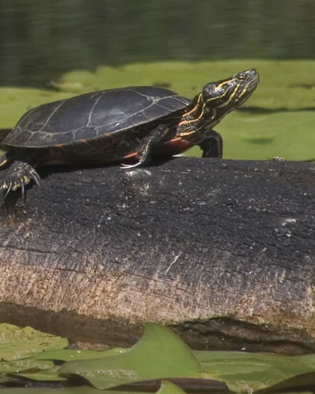 Painted turtles live well in ponds, so their diet should match what they would eat in a pond.