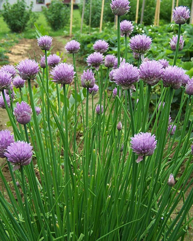Photo by Jerzy Opioa, Wikimedia Commons. The chive plant and its flowers make a stunning display in the perennial garden.