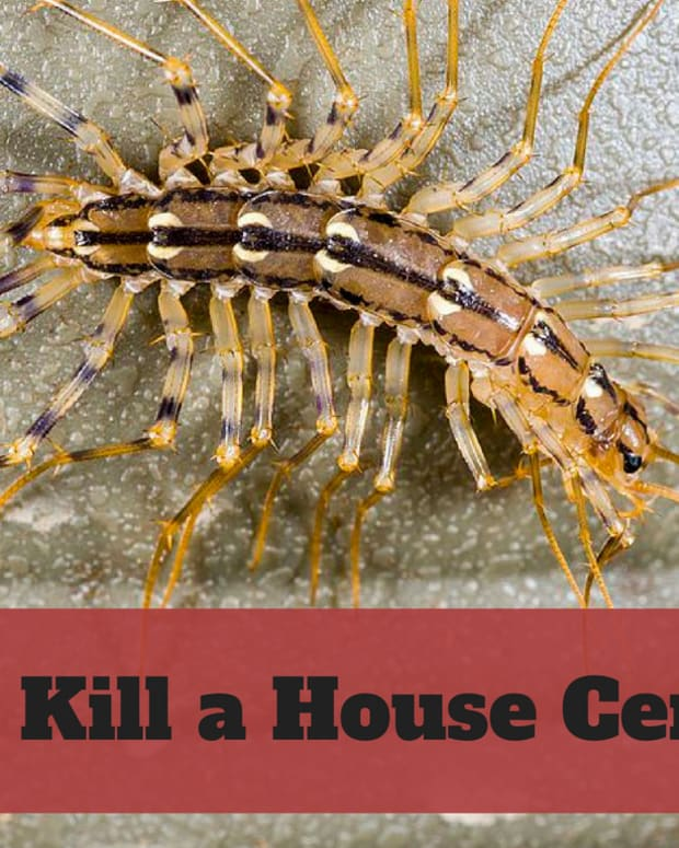 how-to-kill-house-centipedes
