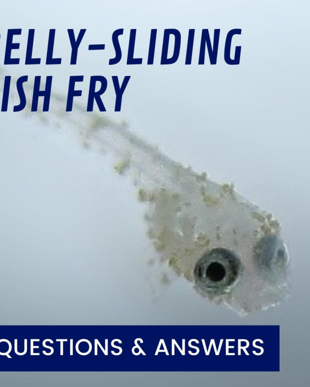 belly-sliding-betta-fish-fry-what-does-it-mean