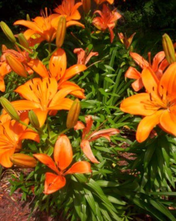growinglilies