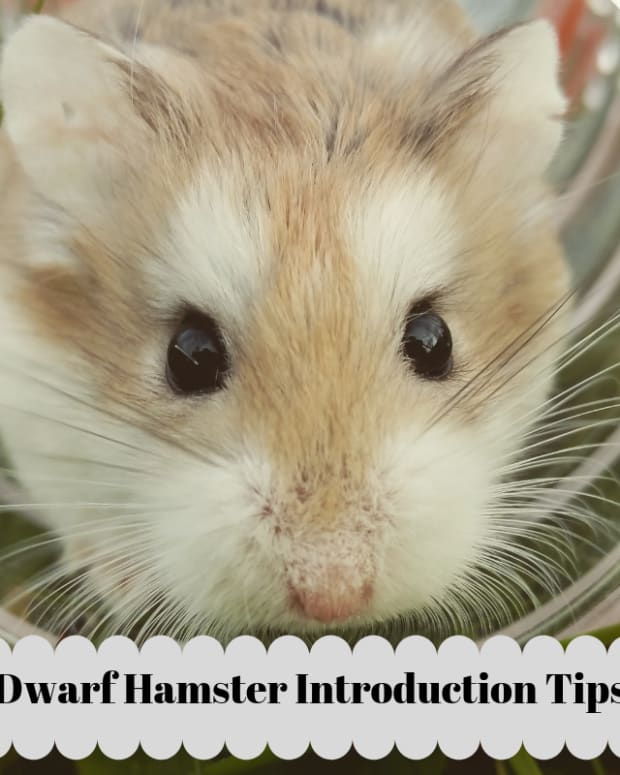 dwarf-hamsters-introducing-a-new-dwarf-to-a-dwarf-you-already-have