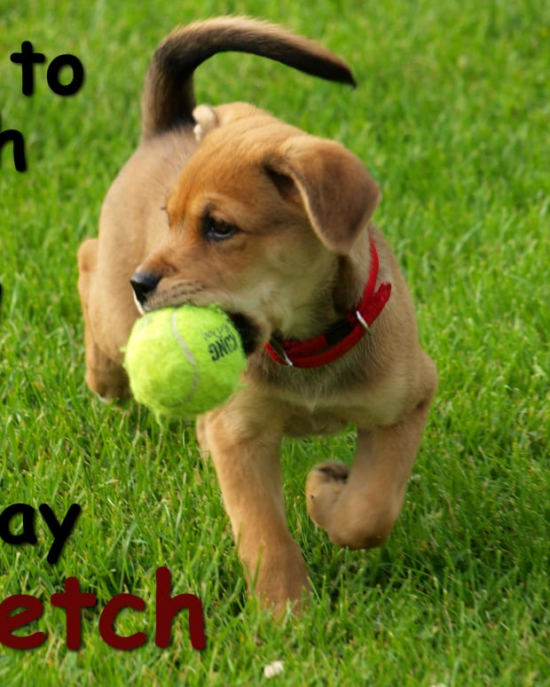 tips-on-how-to-teach-your-dog-to-play-fetch