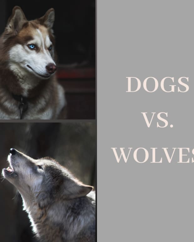 differences-and-similarities-between-dogs-and-wolves