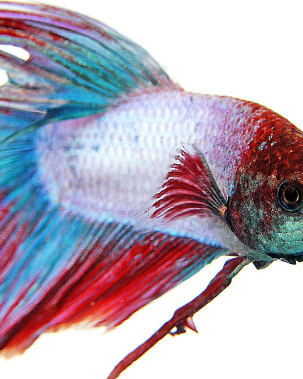 fish-care-siamese-fighting-fish