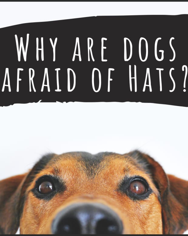 reasons-why-dogs-are-afraid-of-hats-and-other-accessories
