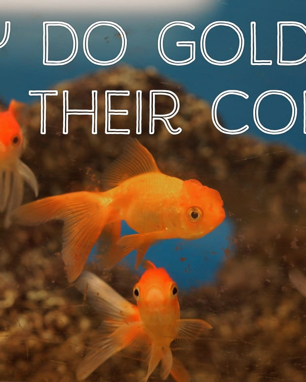 why-do-goldfish-change-color